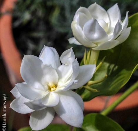 Motia, Indian Jasmine